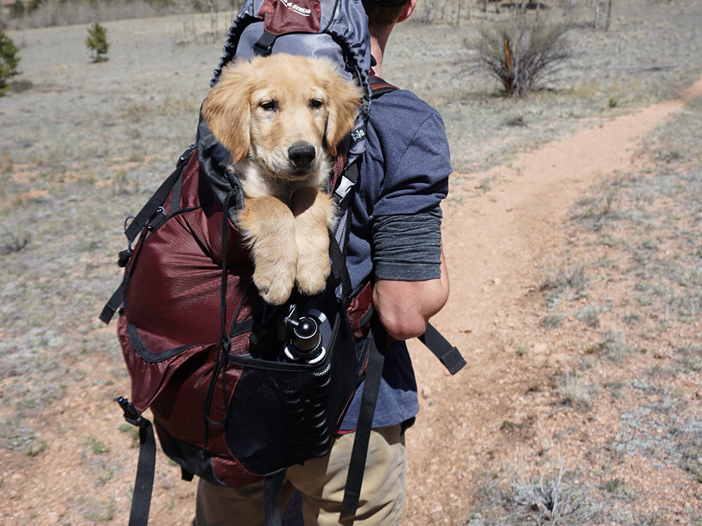 Large golden retriever puppy in a burgundy backpack on man's back as he walks on dirt path through a field covered with sparse grayish-green grasses